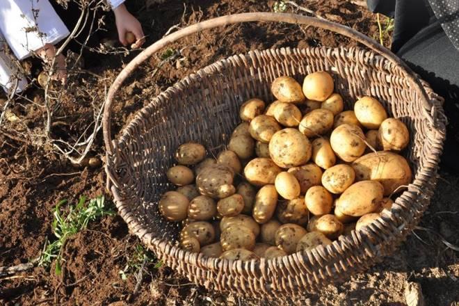 krumpir-kosara